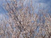 さくらんぼ花1.jpg